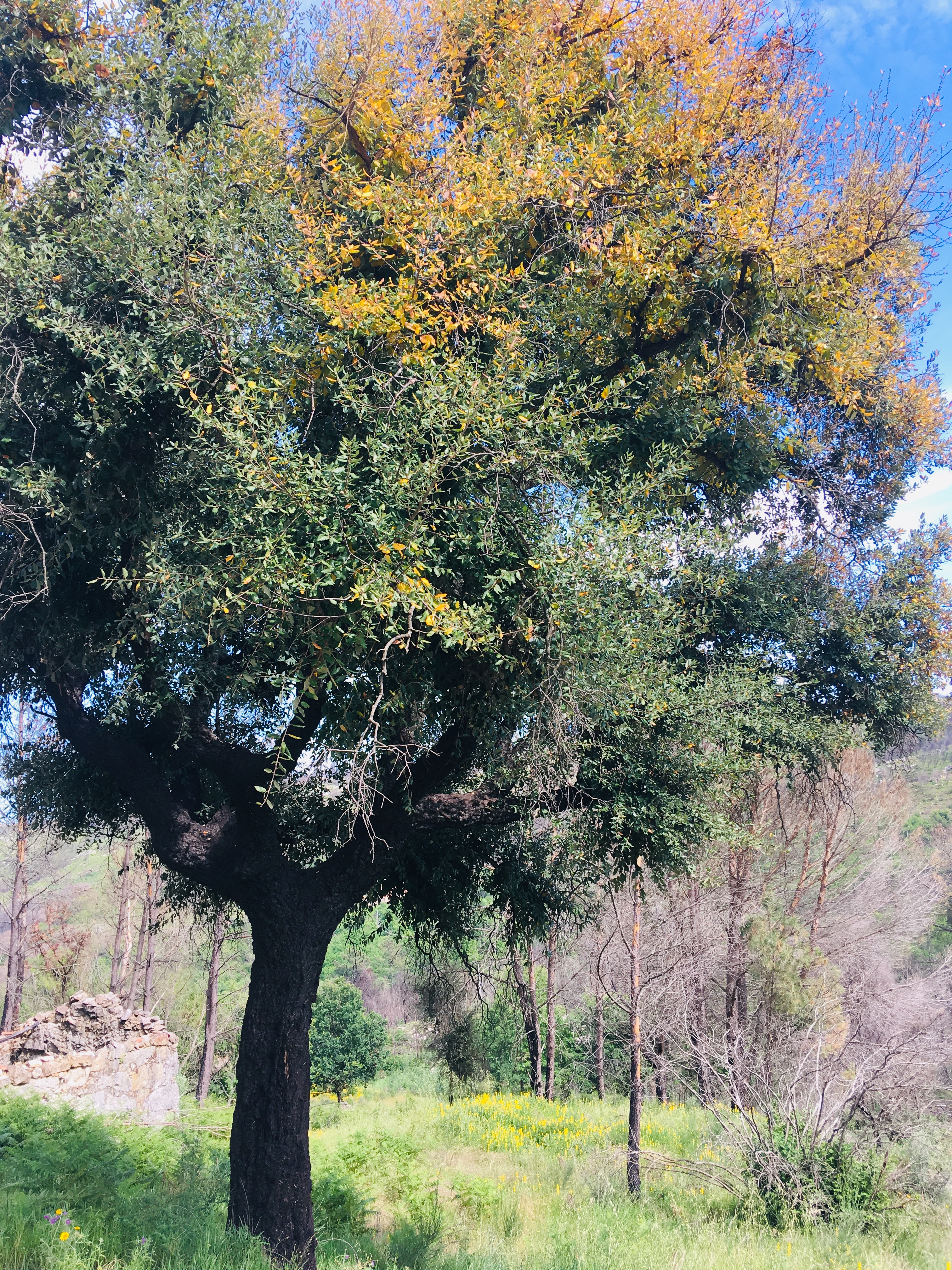 Cork Oak, well adapted to wild fires