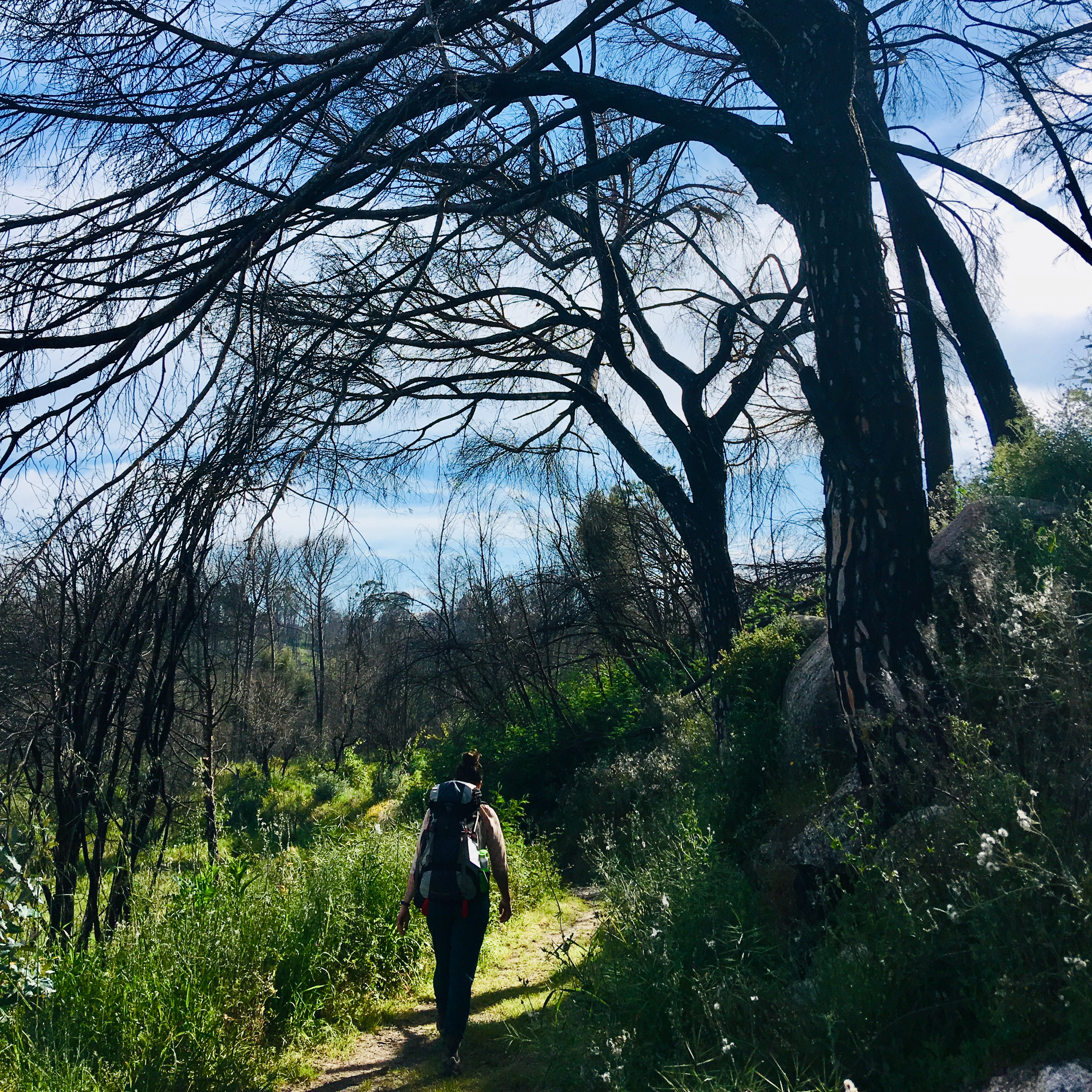 Walking under the remnants of Parasol Pine trees
